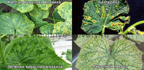 Пятна на листьях огурцов может вызвать мозаика