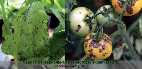 Бактериальная пятнистость томатов: фото