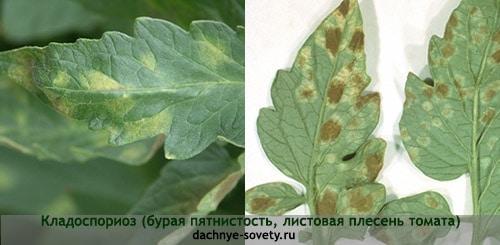 Желтые пятна на листьях томата вызваны кладоспориозом