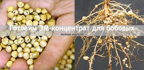 Стимулятор роста бобовых с микроорганизмами