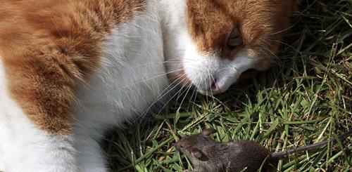 Бороться с мышами в огороде поможет кошка