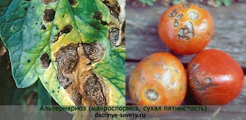 Сухая пятнистость томатов: фото