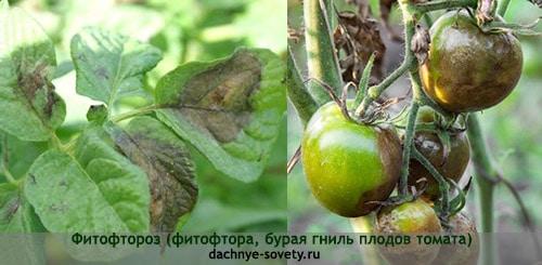 Фитофтороз на листьях и помидорах