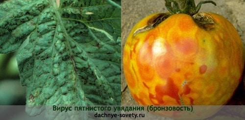 Пятнистость томатов, вызванная вирусом