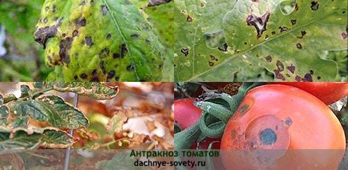 Мучнистая роса поражает листья томатов