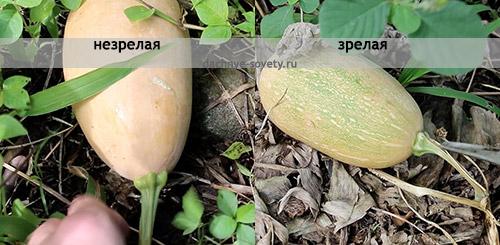 Зрелая и незрелая тыква: сравнение