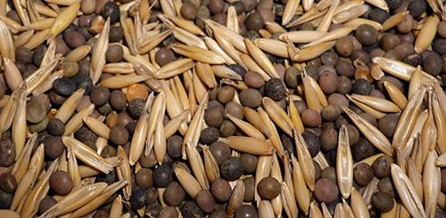 Вико-овсяная смесь семена