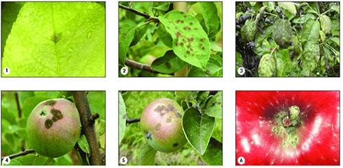 Как проявляется парша яблони