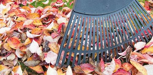 Уборка листвы защищает яблоню от парши