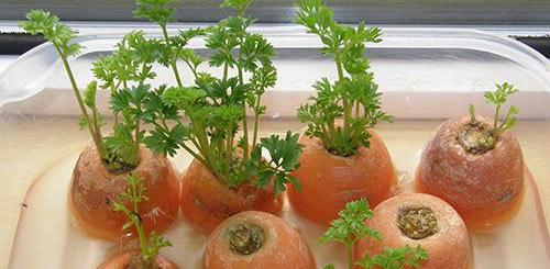 Выгонка зелени из обрезков моркови