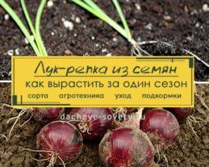 выращивание рассады лука