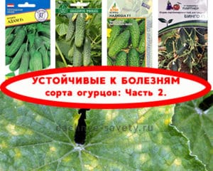 сорта огурцов устойчивые к болезням