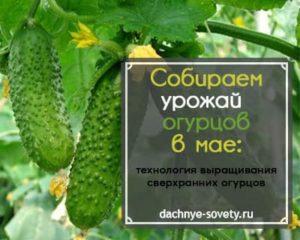 агротехника выращивания огурцов для раннего урожая