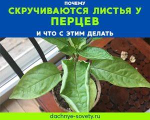 У перцев скручиваются листья: что делать