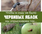 Борьба с плодожоркой на яблоне, чтобы не было червивых яблок