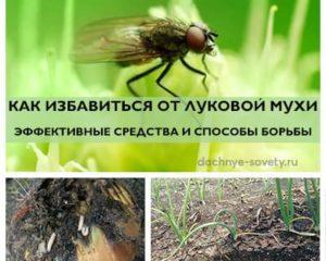 Как избавиться от луковой мухи: препараты и народные средства