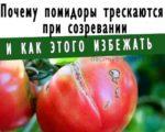 почему помидоры трескаются на корню