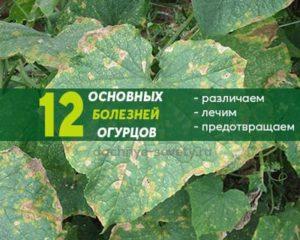 Чем болеют огурцы: 12 основных заболеваний